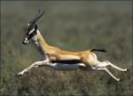 gazelle saut.jpg
